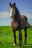在领域的黑褐色马在乡下 免版税图库摄影
