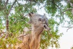 在领域的Morrocan山羊 免版税库存图片