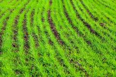 在领域种植的冬天庄稼 免版税库存照片
