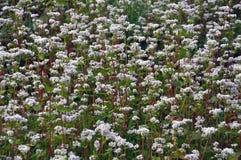 在领域荞麦bloom_13 库存照片