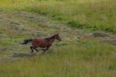 在领域跑的马在夏天 库存图片