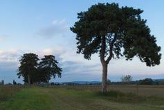 在领域路的杉树 库存图片