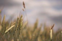 在领域隔绝的麦子耳朵 库存照片