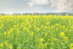在领域风景的黄色花 免版税库存图片