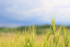 在领域,与蓝色多云天空的一个美好的五颜六色的风景的年轻绿色麦子钉或耳朵特写镜头在日落 免版税库存照片