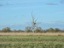 在领域,立陶宛的野生鹅 图库摄影