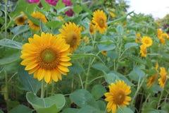在领域,黄色庭院风景的向日葵 免版税库存图片