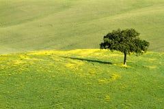 在领域, Val d'Orcia,托斯卡纳,意大利的偏僻的树 免版税库存照片