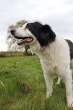 在领域画象的大牧羊犬狗 库存图片