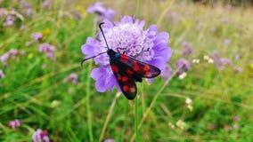 在领域scabiosa的六只被察觉的飞蛾 库存照片