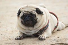 在颜色和黑口鼻部的逗人喜爱的毛茸的哈巴狗灰棕色 库存图片