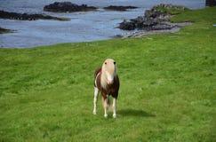 在颜色的冰岛公马在背景中飞溅了白色,与冰岛风景 库存图片
