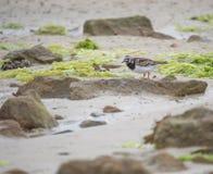 在颜色的翻石鹬鸟在沙子的白天在单独夏天 图库摄影