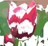 在颜色的郁金香 库存图片