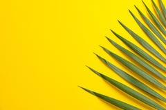 在颜色背景的美丽的热带棕榈叶 免版税图库摄影