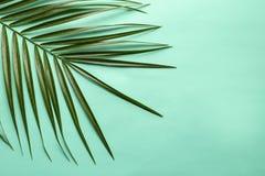 在颜色背景的美丽的热带西米棕榈叶 免版税库存照片