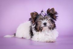 在颜色背景的美丽的约克夏狗狗 免版税库存图片