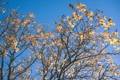 在颜色背景的老大树与蓝天- E-F葡萄酒的影片 库存图片