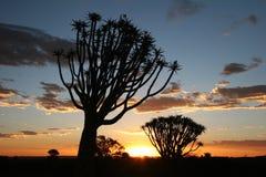 在颤抖日落结构树 库存照片