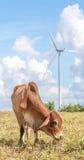 在风力场electri的大风车附近威胁吃草在草甸 免版税库存图片