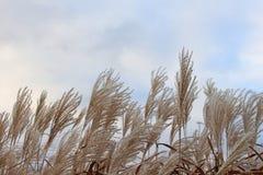 在风吹的天空的蒲苇 免版税图库摄影