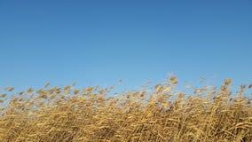 在风和温暖的光的里德群 库存图片