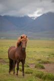 在风景的冰岛马 免版税库存照片