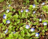 在风景的小蓝色花 库存图片