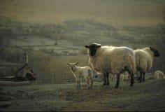 在风景的春天羊羔 库存照片