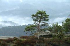 在风景的杉木 免版税库存图片
