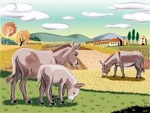 在风景的驴子 库存图片