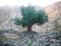 在风景背景概念符号构成的橄榄树 免版税库存图片