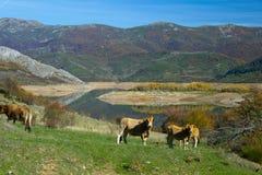 在风景草甸,西班牙的母牛 库存照片