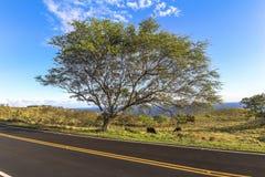 在风景路,毛伊,夏威夷的美丽的树 库存照片