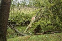 在风暴以后的残破的树 库存图片