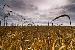 在风暴前的被收获的麦地晚秋天 库存图片