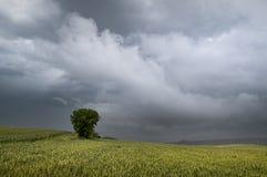 在风暴的谷物领域 库存图片