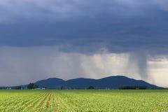 在风暴的麦地 库存图片