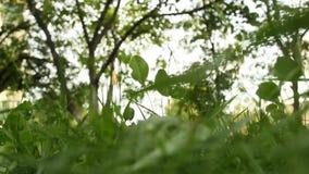 在风特写镜头的绿草摇动在模糊的树背景在bokeh的 晴朗的天气在庭院里在夏天 股票视频