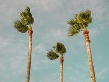 在风的三棵棕榈 免版税库存图片