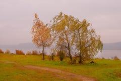 在风的三金黄秋天桦树 库存图片
