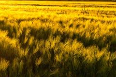 在风的大麦领域 免版税库存图片