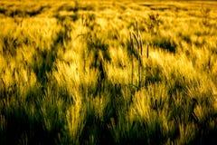 在风的大麦领域 图库摄影