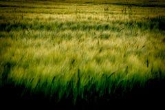 在风的大麦领域 免版税图库摄影