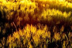 在风的大麦领域 免版税库存照片