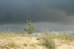 在风的小的杉木 免版税库存照片
