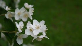 在风的山梅花开花的特写镜头 录影射击静止照相机 Philadelphus 影视素材