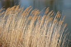 在风的干燥芦苇 库存照片