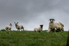 在风的扮演黑人绵羊 苏格兰,英国 库存照片