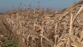 在风的摇摆的玉米茎 影视素材